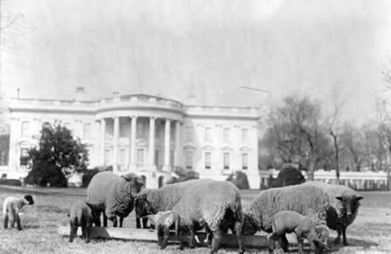 whitehousesheep.jpg