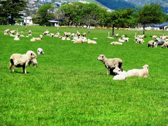 sheep-NZ